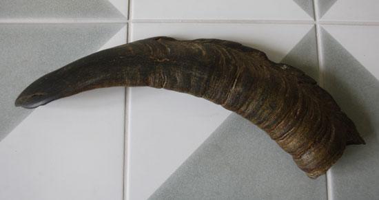 Ibex-horn